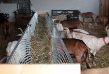 L'étable des chèvres